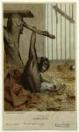 prang-chimpanzee-1885