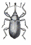 Cotton Boll Weevil